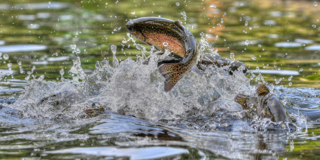 Jumping rainbow trout - Riverton Fishing Derby